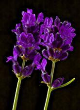 Фото Крупным планом Черный фон Двое Фиолетовая Lavender цветок
