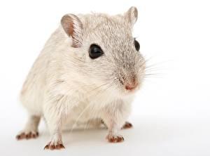 Фотографии Крупным планом Мыши Белом фоне Смотрит Усы Вибриссы Животные