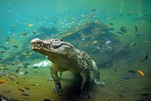 Фотографии Крокодилы Подводный мир животное