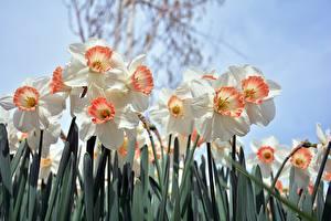 Фотографии Нарциссы Крупным планом Белый Цветы