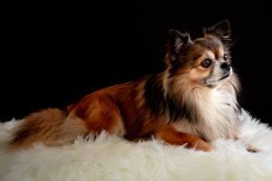 Обои Собаки Чихуахуа Лежат Взгляд Животные