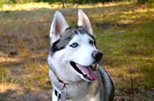 Фотография Собака Головы Взгляд Языком Хаски животное
