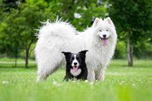 Обои для рабочего стола Собаки Самоедская собака Бордер-колли Животные