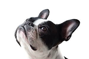 Фотографии Французский бульдог Вблизи Собака Белым фоном Голова Взгляд животное