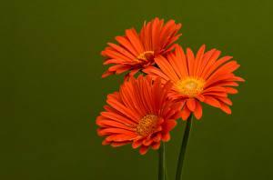 Фото Герберы Три Оранжевый Цветной фон цветок