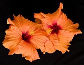 Картинки Гибискусы Крупным планом На черном фоне Оранжевых Цветы