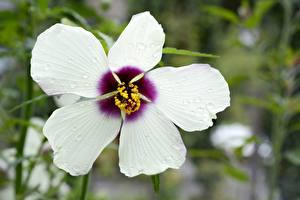 Фотографии Гибискусы Крупным планом Белый цветок
