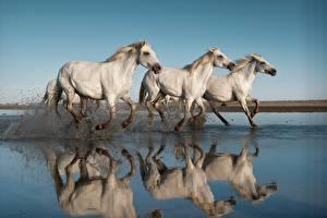Фото Лошади Бежит Втроем С брызгами Белых Животные