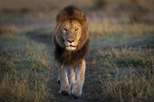 Обои для рабочего стола Львы Взгляд Животные