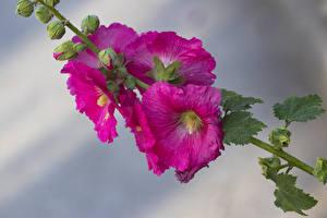 Картинка Мальва Крупным планом Розовые Бутон Цветы
