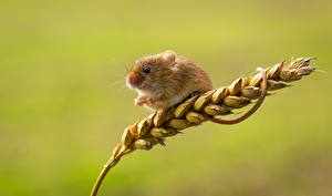 Обои Мыши Вблизи Колосок harvest mouse животное