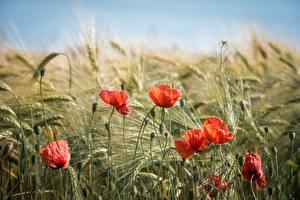 Обои Маки Красных Бутон Колосья цветок