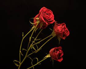 Фотография Розы Черный фон Красная цветок