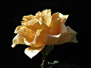 Фотография Роза Вблизи На черном фоне Желтые Цветы