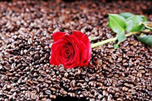 Фотографии Розы Кофе Вблизи Красная Зерна Еда