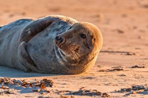 Картинка Тюлени Песок Лежачие Усы Вибриссы Смотрит Животные