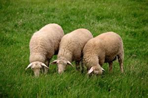 Фотографии Овцы Трава Втроем Животные