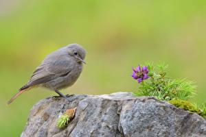Фото Камень Птица Black Redstart животное