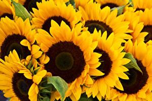 Фотография Подсолнухи Вблизи цветок
