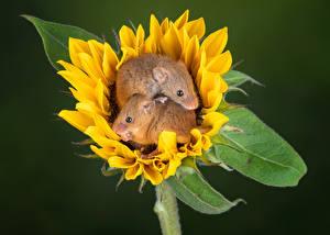 Картинки Подсолнечник Мыши Двое harvest mouse Животные