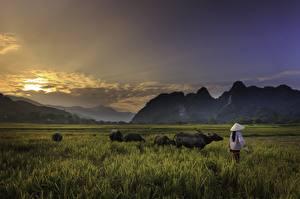 Обои Рассветы и закаты Гора Азиатка Бык Трава Шляпа Работа Природа