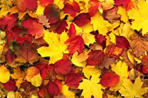 Обои Текстура Осенние Листва Клёновый Природа
