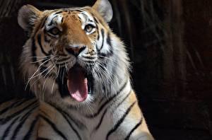 Картинки Тигр Смотрит Морда Язык (анатомия) Зевает Животные