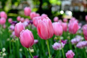 Обои для рабочего стола Тюльпаны Боке Розовые цветок