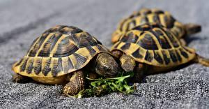 Фотография Черепахи Крупным планом Животные