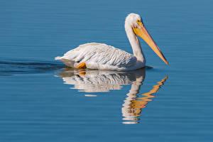 Картинка Вода Птицы Пеликаны животное