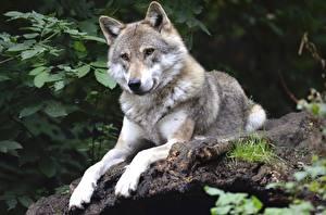 Обои Волк Лежа Взгляд Лапы Животные