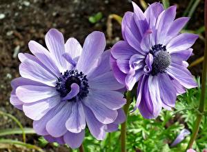 Обои для рабочего стола Ветреница Крупным планом Фиолетовый Двое цветок