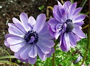 Фото Ветреница Крупным планом Фиолетовый Двое цветок