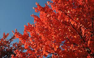 Фото Осенние Листья Клёновый Красные Ветки