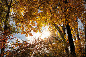 Фото Осенние Дерево Ветвь Клёновый Лучи света