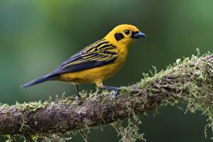 Фотография Птица Ветки Мох Golden Tanager Животные