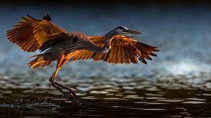 Обои Птицы Цапли Взлетает Крылья Great blue heron Животные
