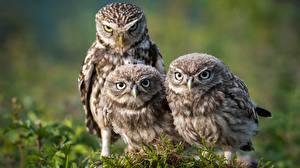 Фотографии Птицы Совы Мха Трое 3 Athene
