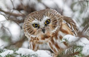 Обои Птицы Совообразные Взгляд Boreal owl Животные картинки