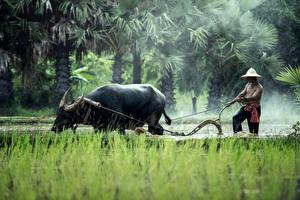 Фотография Быки Мужчина Азиаты Работа Шляпа Трава животное