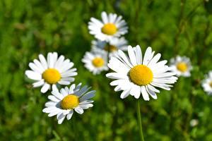 Картинка Ромашка Вблизи Цветы