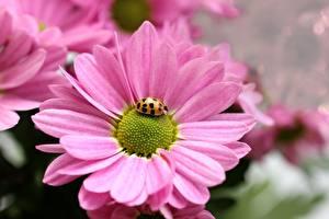 Картинка Ромашка Крупным планом Божьи коровки Насекомые Розовая цветок