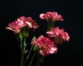 Обои Гвоздика Крупным планом Черный фон цветок