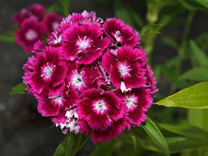Фотографии Гвоздика Вблизи Dianthus chinensis цветок