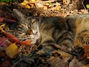 Фотографии Кошка Осенние Спящий Листья животное