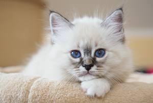 Фотография Кошка Котенок Смотрит Белая Белый Животное