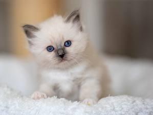 Фотографии Кот Белых Белый Котята Животные