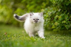 Фотография Коты Бирманская кошка Белый Котята Животное Животные