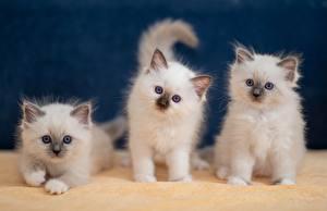 Фотографии Кот Белых Котенок Котята Животное Животные