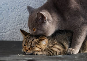 Фотография Кошка Британская короткошёрстная Котята 2